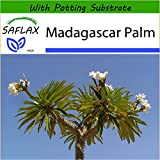 SAFLAX - Madagascar Palm - 10 seeds - With potting substrate for better cultivation - Pachypodium lamerei