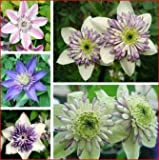 50pcs Mixed Color Clematis Florida Seeds Garden Herbaceous Climber Plant by Hong95store