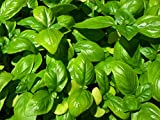 Italian Heirloom Genovese Basil Seeds by Stonysoil Seed Comapny