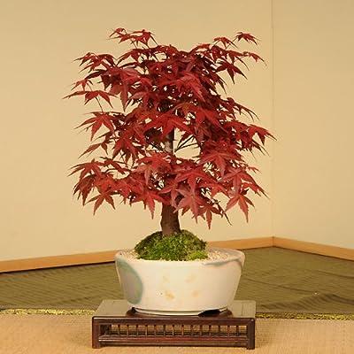 盆栽:出猩々もみじ(瀬戸焼小鉢)*