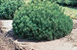 """Enci Mugo Pine - Pinus Mugho - Swiss Mountain Established Roots - 2.5"""" Potted 3 Plants by Growers Solution"""