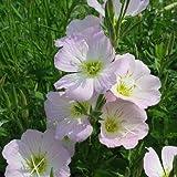 100 Seeds Showy Evening Primrose Flower Seeds (Oenothera Speciosa)