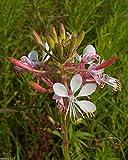 Gaura biennis Seeds (Biennial Gaura) AKA Biennial Beeblossom-Pink/White Flowers (500 Seeds)