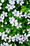 Blue Star Creeper - Isotoma - 3 Seasons of Blooms - Quart Pot