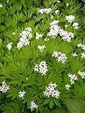 20 SWEET WOODRUFF ASPERULA Galium Odoratum Flower Seeds