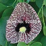 5pcs/lot Aristolochia elegans,Aristolochia littoralis, Dutchman's Pipe seed flower bonsai plant DIY home garden free shipping