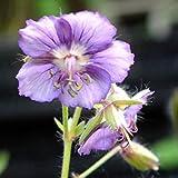 4 Bare Root of Geranium Phaeum 'Lavender Pinwheel'