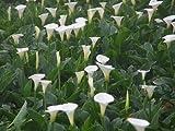 4 Good Size FRESH Bulb Rhizome White Calla Lily Flower Tuber