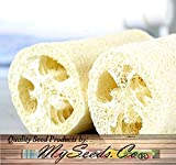 BIG PACK - (100) LUFFA Luffa cylindrica Loofah SEEDS - Dishcloth or Luffa Gourd Fruits Grow to Approx. 2' - Non-GMO Seeds by MySeeds.Co (BIG PACK - Luffa Gourd Reg)