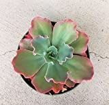 Echeveria Ruffle Succulents Crinoline Neon Purple (4 inch pot)