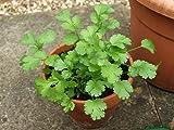 """LIVE Cilantro Herb Plant - Organic NON-GMO - 2 (TWO) Plants Fit 3.5"""" Pot"""
