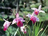 Hawaiian Tropical Bamboo Orchid Plant 2 Rooted Bulbs (Pack of 5) Grow Hawaii