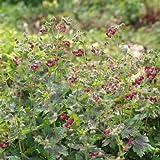 5 Starter Plants of Geranium Phaeum Samobor