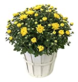 "Kurt Weiss Greenhouses MUM08YL Hardy Mum Flowering Plant in an 8"" Basket, Yellow Blooms"