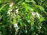 CITHAREXYLUM SPINOSUM - FIDDLEWOOD - STARTER PLANT