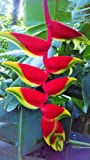 Rare LIVE Heliconia Rostrata Large Plant Rhizome tropical flower banana ginger
