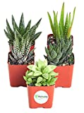 Shop Succulents | Alluring Collection of Live, Hand Selected Variety Pack of Mini 5 Different Aloe Plants Easy to Grow and Hard to Kill