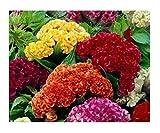 David's Garden Seeds Flower Celosia Chief Mix SL1054 (Multi) 100 Non-GMO, Open Pollinated Seeds
