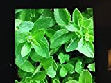 3 Stevia Plants, No Calorie Natural Sweetner Herb Well Rooted in a 4 Inch Pot.