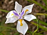 African Iris White Qty 30 Live Plants Groundcover
