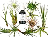12 Pcs Tillandsia Air Plant Lot/Kit Includes 11 Plants and 1 Bottle of Organic Air Plant Fertilizer Food/Plus Gifting Box