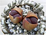 Lithops lesliei Fred`s Redhead, living stone rock stone cactus seed 15 SEEDS