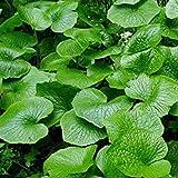 Hot Wasabi Seeds 100pcs/bag Japanese Horseradish Seeds Vegetable Wasabia Japonica Home Garden Bonsai Plants DIY