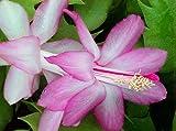 """Lavender Christmas Cactus Plant-Zygocactus - 4"""" Pot"""