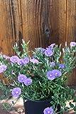 Ground Morning Glory aka Convolvulus mauritanicus Live Plant Fit 1 Gallon Pot