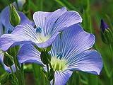 Blue Flax Seed, 100+ Seeds, Organic, Beautiful Striking Blue Flax Flowers