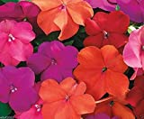 Impatiens Seeds - XTREME TANGO MIX- ideal for Baskets,Containers & window boxes (200 Seeds)