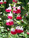 SALVIA MICROPHYLLA 'HOT LIPS' - STARTER PLANT