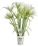 Graceful Grasses Prince Tut Dwarf Egyptian Papyrus(Cyperus) Live Plant, Bright Green Foliage, 4.5 in. Quart
