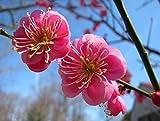 Japanese Apricot, (Chinese Plum), Prunus Mume, 3 Tree Seeds (Showy, Edible)
