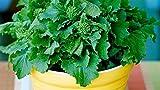 Broccoli Rapini (2100 Seeds) Winter Window Raab Rabe Greens!