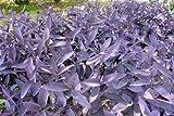 7 Cuttings Purple Heart Wandering Jew - Tradescantia Pallida Purpurea Plant