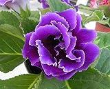 Mr.seeds Purple Gloxinia Seeds Perennial Flowering Plants Sinningia Speciosa Bonsai Balcony Flower for DIY Home & Garden - 100 PCS