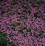 Hirt's Saponaria Ocymoides Trailing Soapwort, 100 Seeds/275 Milligrams