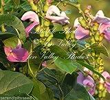 Canavalia gladiata Sword Bean Seeds Ornamental Tropical Vine Lavender Blooms (8 Seeds)