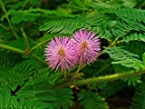 10 Seeds Mimosa pudica Sensitive Plant