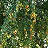 Manilla tamarind, Pithecellobium dulce exotic Madras thorn fruit seed - 15 SEEDS