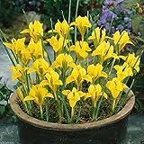 Dwarf Iris danfordiae Bulbs,Bloom Spring, Perennial,Fall Bulb, Now shipping !