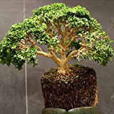 15 seeds Buxus Sempervirens (Common Boxwood) Bonsai