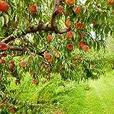 Van Zyverden Peach Tree - Contender - 1 Root Stock