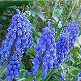 Hyacinthus Orientalis Hyacinth Flower Seeds 80 SEEDS --BUY 4 ITEMS