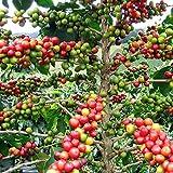 "Hirt's Arabica Coffee Bean Plant - 3"" Pot - Grow & Brew Your Own Coffee Beans"