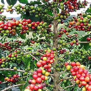 Amazon.com : Hirt's Arabica Coffee Bean Plant - 3.5