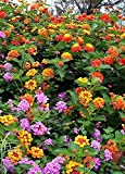 """Lantana Camara Flowers - Two (2) Live Plants - Not Seeds - Natural Mosquito Repellant Garden - Attract Hummingbirds & Butterflies - Each 3"""" to 7"""" Tall in 4 inch Pots - Assorted Colors - PREMIUM PLANTS"""