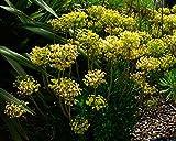 4 Bare Root of Euphorbia Characias ssp. Wulfenii 'Lambrook Gold'