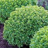Burpee Boxwood Basil Seeds 100 seeds